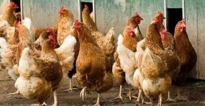 tavuk çiftliği kurmak
