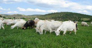 çim biçen keçiler