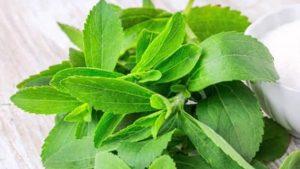 stevia yetiştirmek